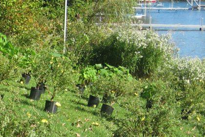 Communiqué - Renaturalisation des rives - Distribution de plants